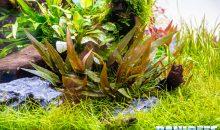 Cryptocoryne wendtii brown, la pianta che ogni neofita dovrebbe avere