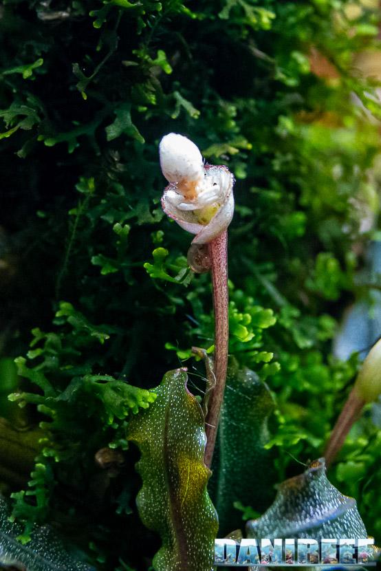Bucephalandra sp red la pianta epifita che ama la luce
