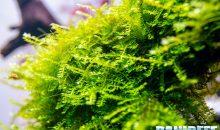 I muschi in acquario: Vesicularia, Taxiphyllum e Fissidens