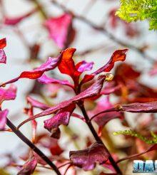 Le piante rosse, una gioia per gli occhi negli acquari di acqua dolce