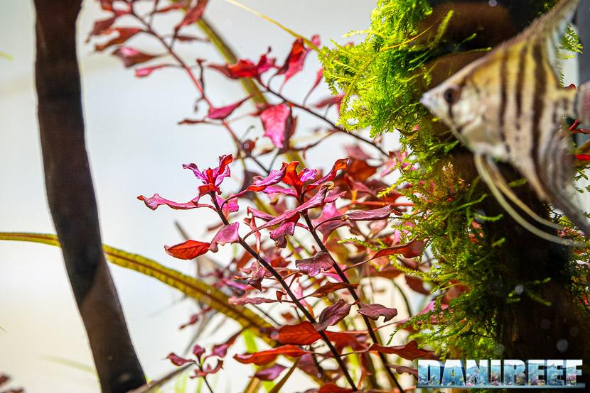 Ludwigia palustris, la pianta rossa cosmopolita - conosciamola meglio