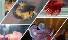 PetsFestival 2019 Betta Show: pesci combattenti in mostra
