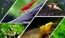 PetsFestival 2019 Shrimp Show: caridine per tutti i gusti