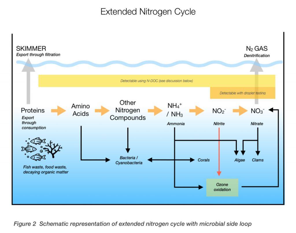 I rapporti Triton C:P:N permettono di gestire al meglio gli acquari marini: qui il ciclo dell'azoto esteso