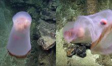 Video: Ripresa una enigmatica medusa del genere deepstaria