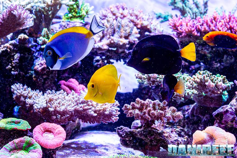 L'incredibile acquario marino di SPS di Marco Vank - Reportage - Pesci che mangiano