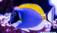 Pesci chirurgo in acquario marino: come decidere quanti inserirne e perché?