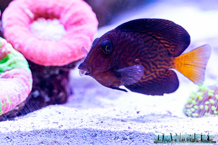 L'incredibile acquario marino di SPS di Marco Vank - Reportage - Ctenochetus hawaiiensis