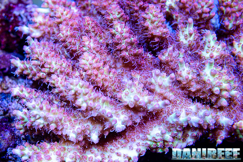 L'incredibile acquario marino di SPS di Marco Vank - Reportage - Acropora microclados strawberry