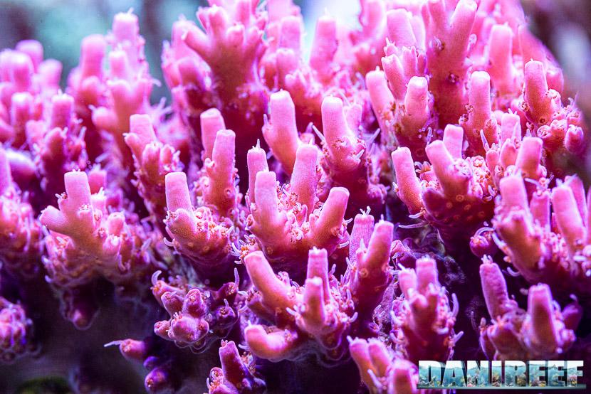 Lo stress da calore destabilizza il ciclo dei nutrienti simbiotici dei coralli