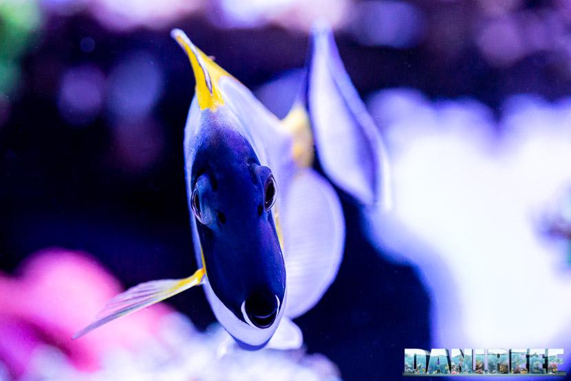 L'incredibile acquario marino di SPS di Marco Vank - Reportage - Acanthurus leucosternon