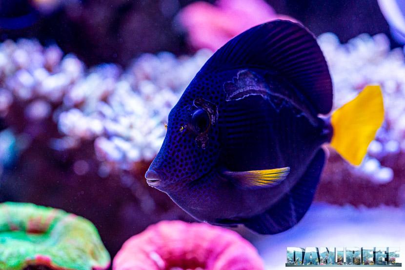 L'incredibile acquario marino di SPS di Marco Vank - Reportage - Zebrasoma xanthurum