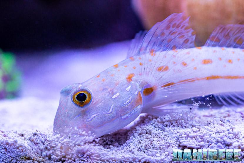L'incredibile acquario marino di SPS di Marco Vank - Reportage - Valenciennea puellaris