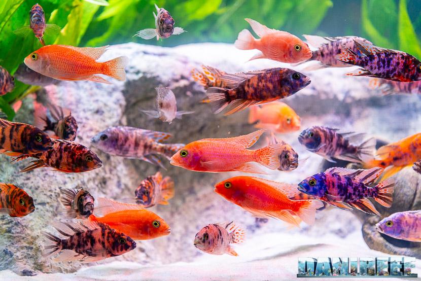 I ciclidi africani: Una alternativa ai pesci marini