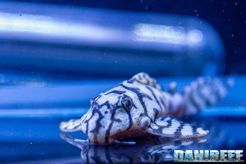 Loricaridi sono pesci fantastici ma da alimentare come tutti gli altri