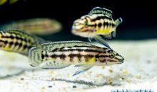 Chalinochromis popelini – un interessante ciclide del lago Tanganica