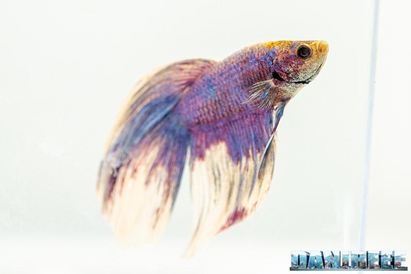 Come allestire un acquario perfetto per Betta splendens (pesce combattente)