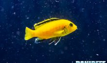 Labidochromis caeruleus Yellow, il ciclide africano giallo limone