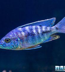 IL Copadichromis azureus mbenji – il pesce per gli amanti dello stile minimal