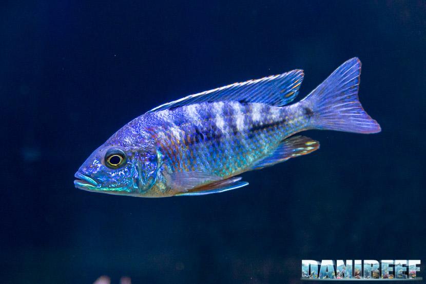 IL Copadichromis azureus mbenji - il pesce per gli amanti dello stile minimal