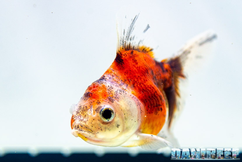 Goldfish Experience Petsfestival 2019 - Carassius auratus petsfestival 2019 - Oranda calico short body