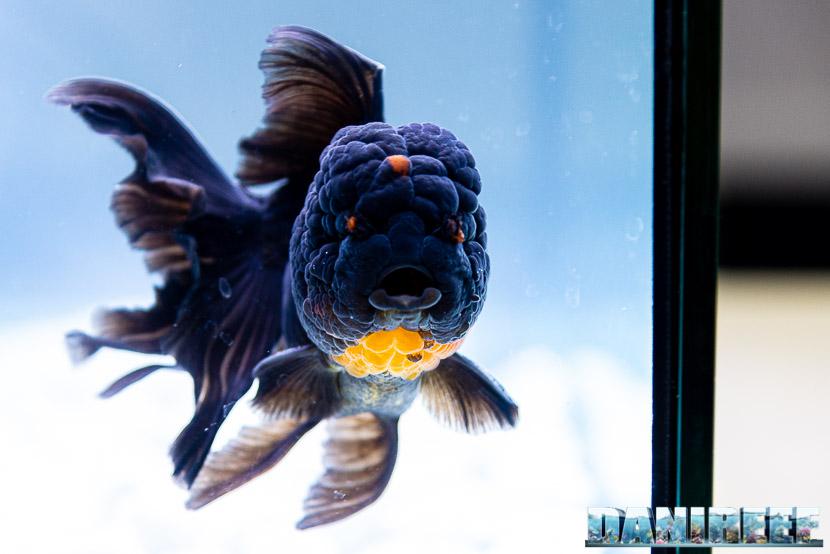 Goldfish Experience Petsfestival 2019 - Carassius auratus petsfestival 2019 - Oranda Red Black