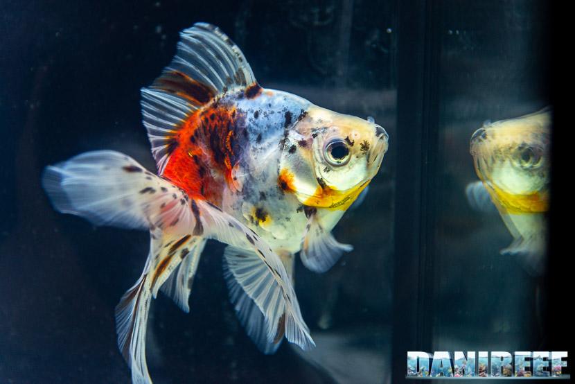 Goldfish Experience Petsfestival 2019 - Carassius auratus Petsfestival 2019 - Ryukin Calico