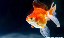 Il Carassius auratus l'icona mondiale dell'acquariofilia