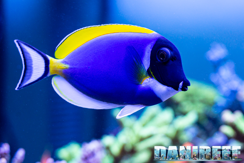 Surgeonfish in marine aquariums: how many and why?