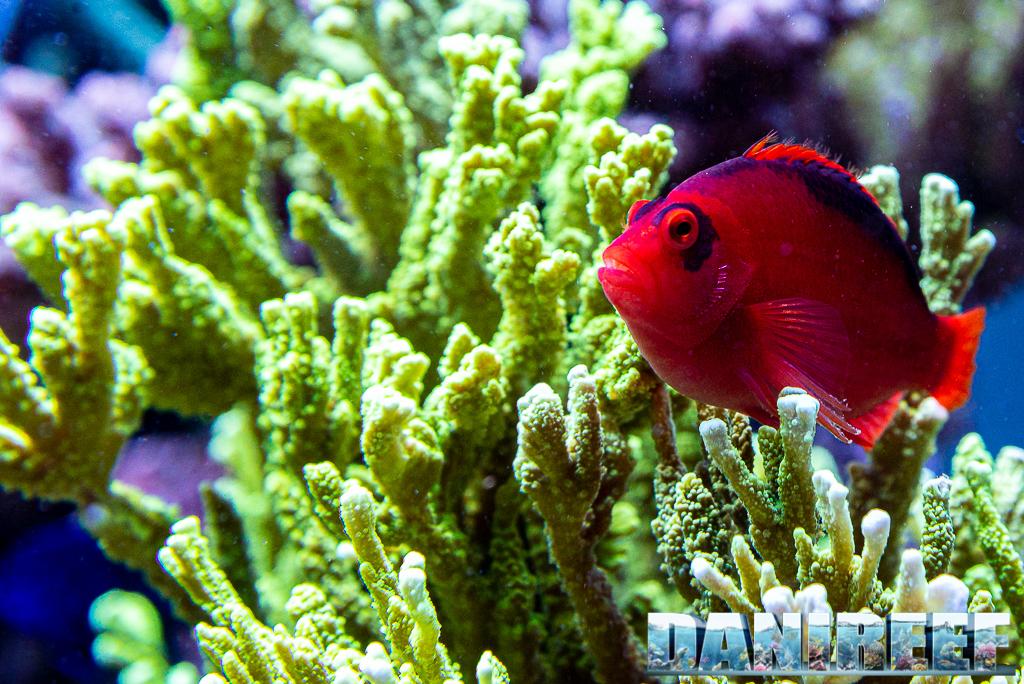 Lo splendido acquario marino di Acropore di Giuliano Carafa con T5