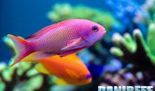 Pseudanthias squamipinnis: perché allevarli e requisiti minimi per l'allevamento