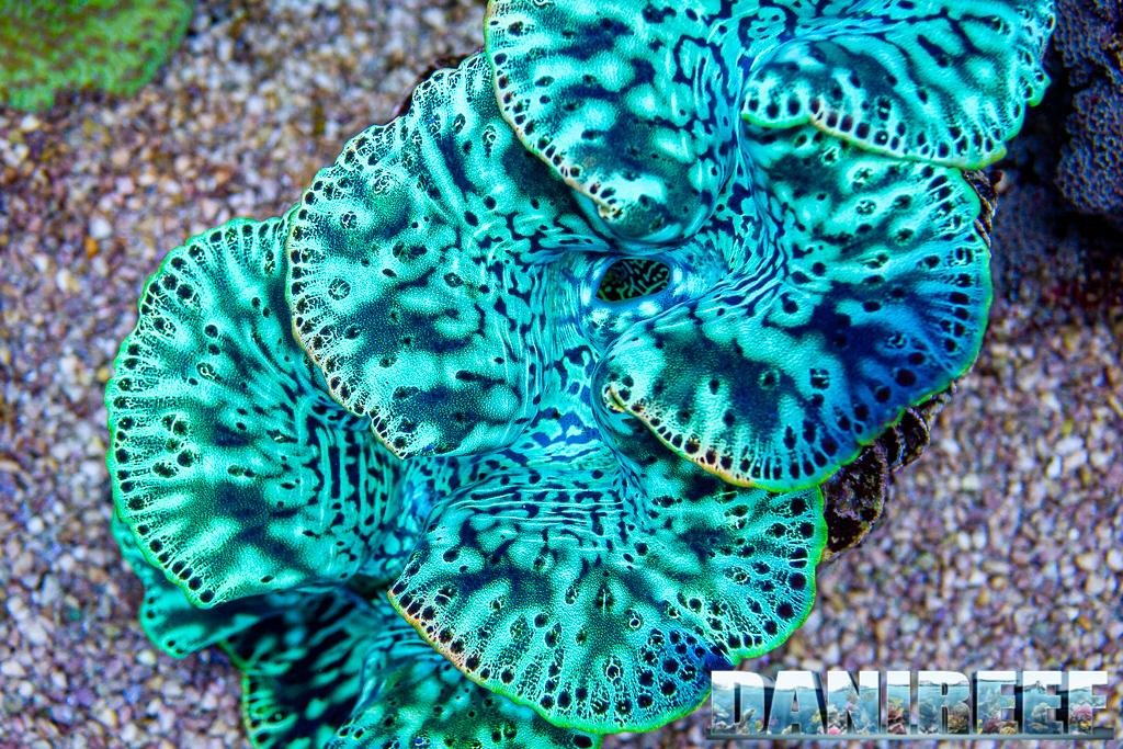 Gli escrementi delle tridacne potrebbero aiutare i coralli a recuperare dallo sbiancamento