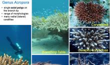 Una guida gratuita per l'identificazione dei coralli duri con lo smartphone