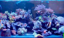 Un acquario con Zanclus, Chelmon ed SPS? Ecco quello di Aaron Dus