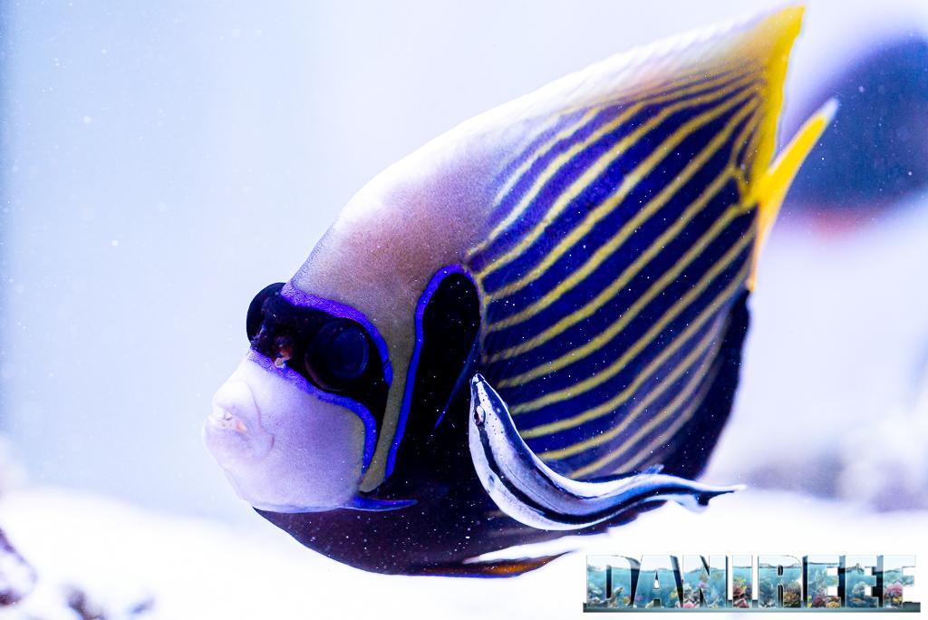 Labroides dimidiatus, il re dei pesci pulitori... eppure ve lo sconsiglio (anzi no)
