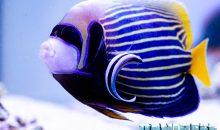 Pomacanthus imperator: un imperatore in acquario, si può?