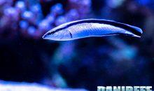 Labroides dimidiatus, il re dei pesci pulitori… eppure ve lo sconsiglio (anzi no)