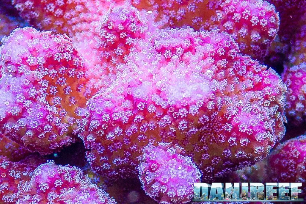 Ci stava bene la foto di un corallo non trovate? [Stylophora pistillata]