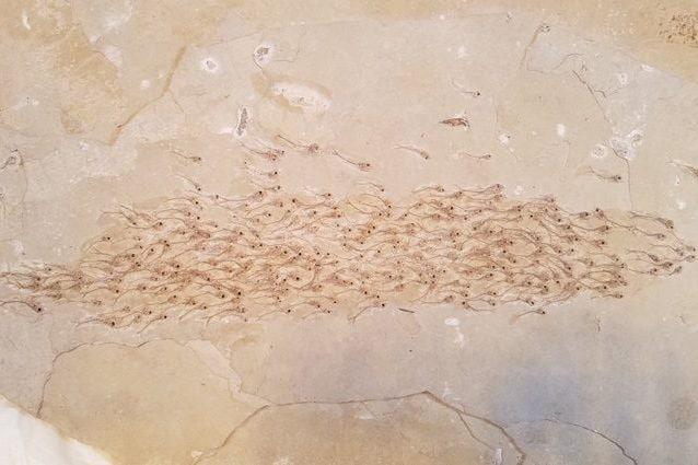 Un banco di pesci di 50 milioni di anni fa