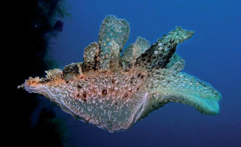 Melibe fimbriata fotografato da Francesco Pacienza