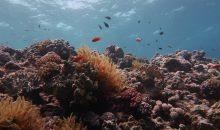 Il numero di coralli nella grande barriera corallina si è dimezzato