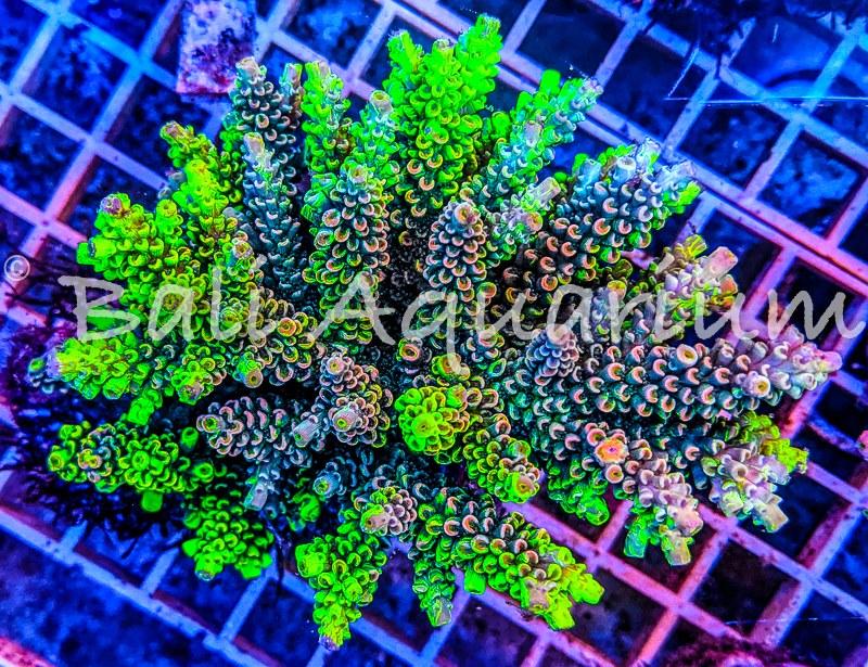 Acropora tenuis armageddon