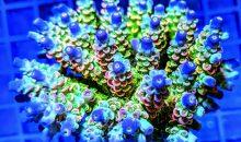 Acropore tenuis e microclados da lasciarci gli occhi