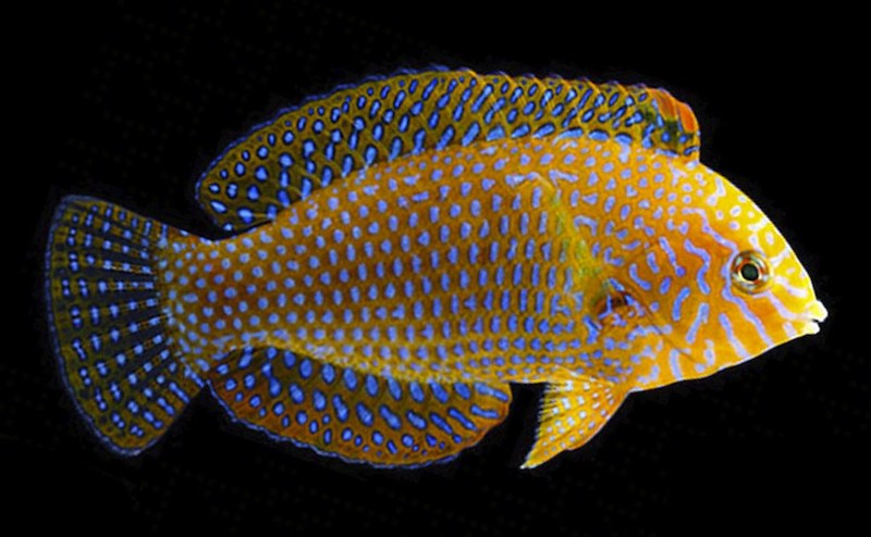 Macropharyngodon geoffroyi