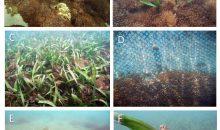 In natura come in acquario: la Xenia ricopre il reef venezuelano