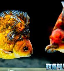 Goldfish Experience Petsfestival 2021 – Reportage video e fotografico