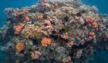 """Scoperti """"super coralli"""" che prosperano in livelli elevatissimi di CO2"""